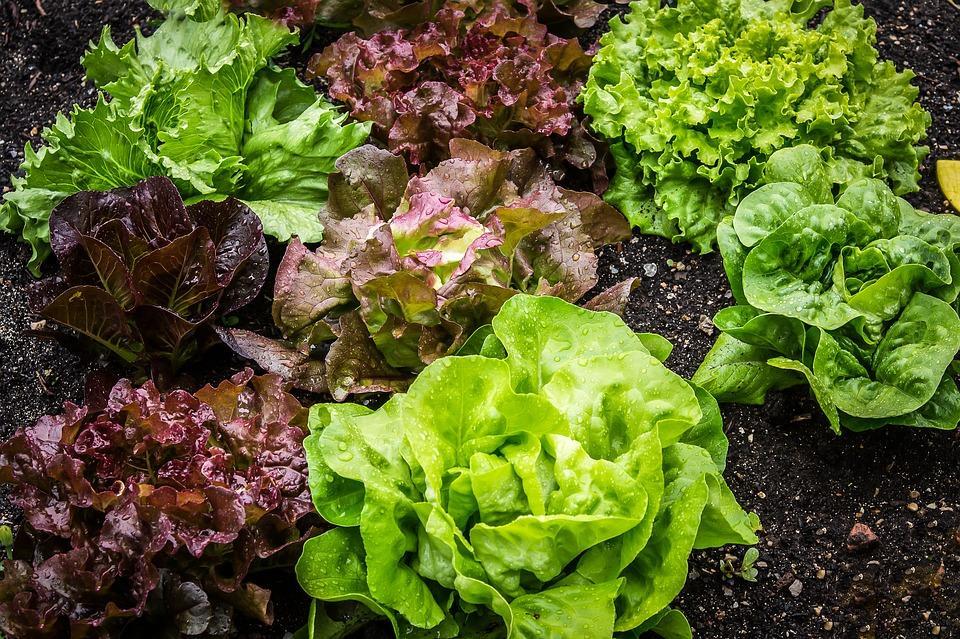 FRL Gardens Lettuce